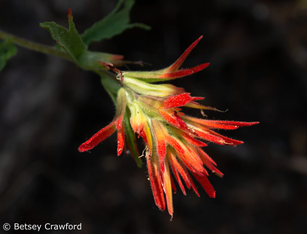 Giant red paintbrush (Castilleja miniata) Sierra Nevada Mountains by Betsey Crawford