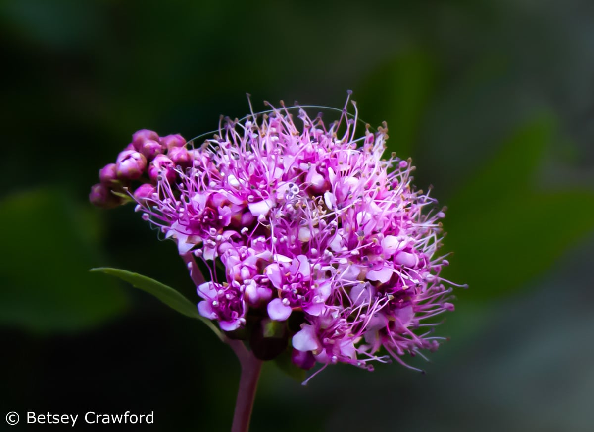 Mountain spirea (Spirea densiflora) in the Sierra Nevada Mountains by Betsey Crawford