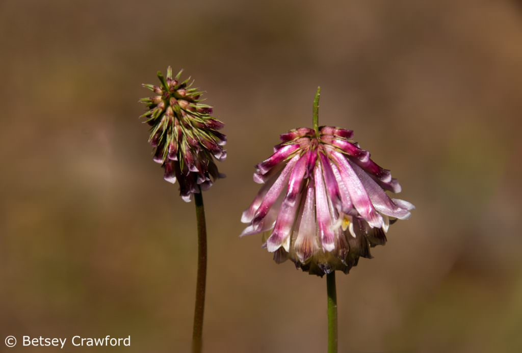Productive clover (Trifolium productum) Sierra Nevada Mountains by Betsey Crawford