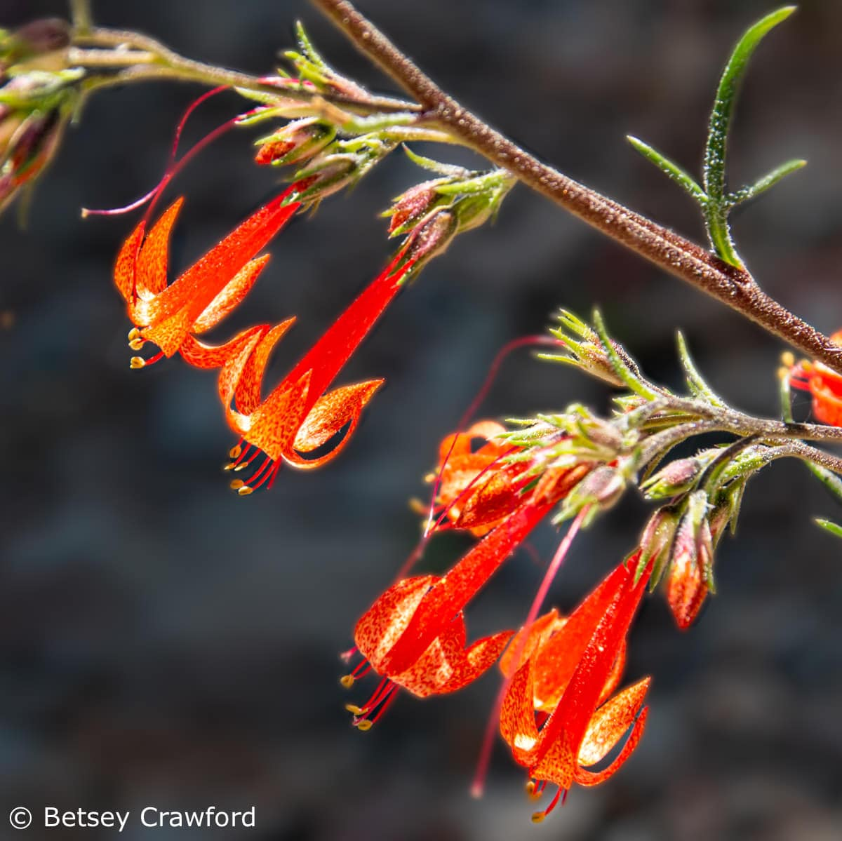 Scarlet gilia (Ipomposis aggregata) Sierra Nevada Mountains by Betsey Crawford