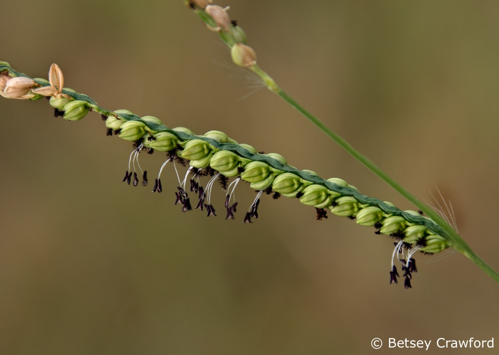 This vine mesquite (Hopi obtusa) on a Missouri roadside dangles its vivid anthers, ready to send their pollen to the wind. The feathery stigma at the other end of the filament are ready to receive pollen. Photo by Betsey Crawford.