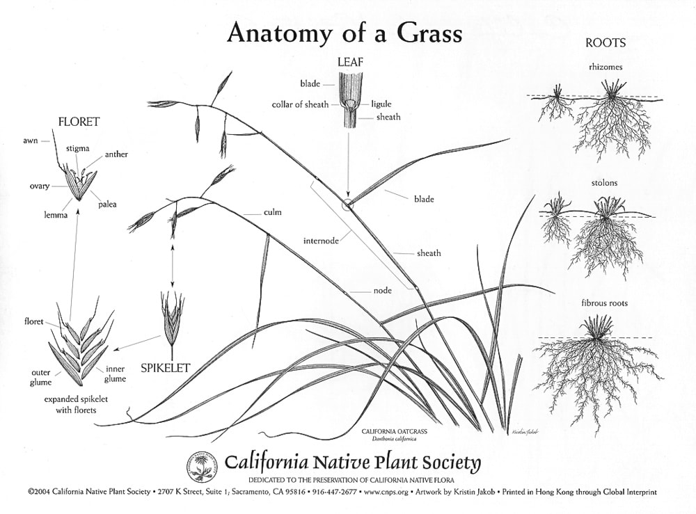 Anatomy of grass artwork by Kristin Jakob for the California Native Plant Society