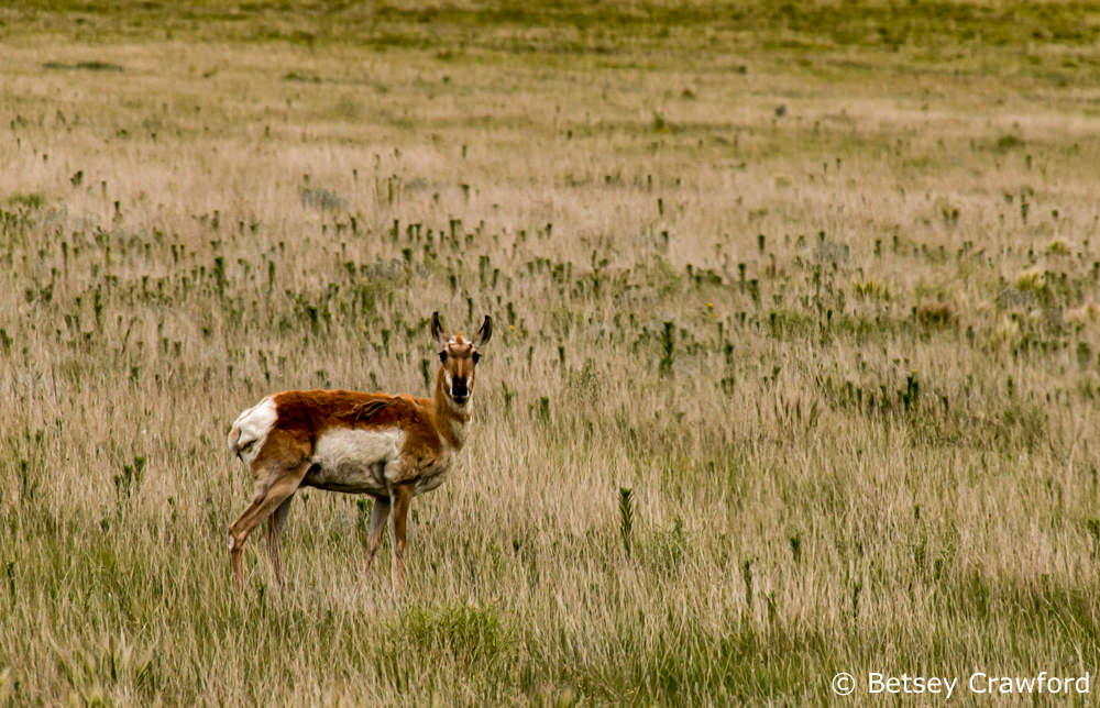 Pronghorn antelope in the Pawnee National Grasslands, Fort Collins Colorado by Betsey Crawford