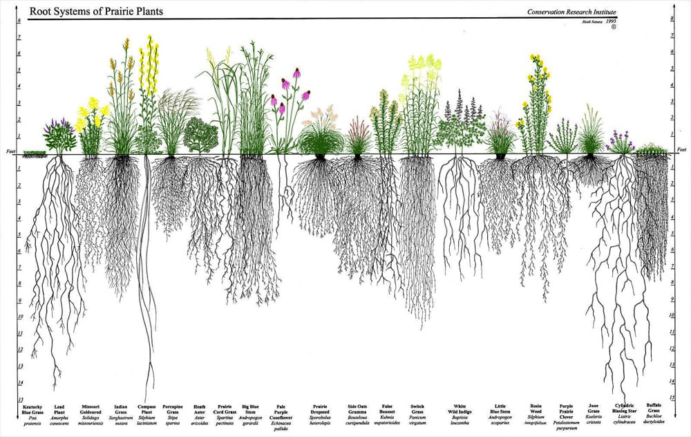 The roots of prairie plants, grasses as well as flowers. Artwork from the Conservation Research Institute.