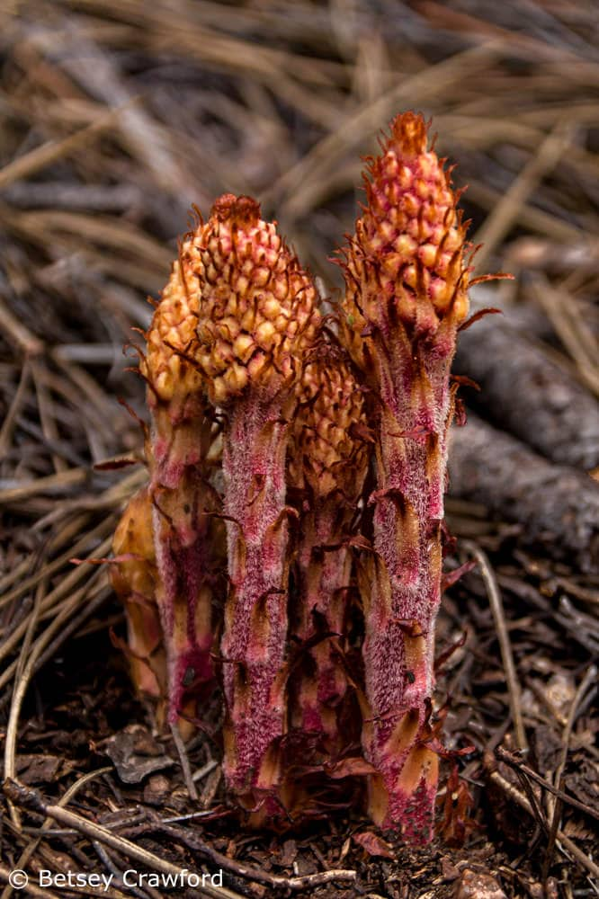 Pinedrops (Pterospora andromedea) Colorado Springs, Colorado by Betsey Crawford