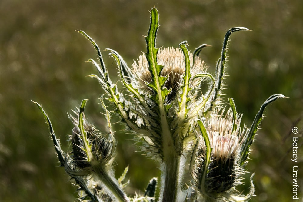 White thistle (Cirsium hookerianum) Waterton Lakes National Park, Alberta, Canada by Betsey Crawford
