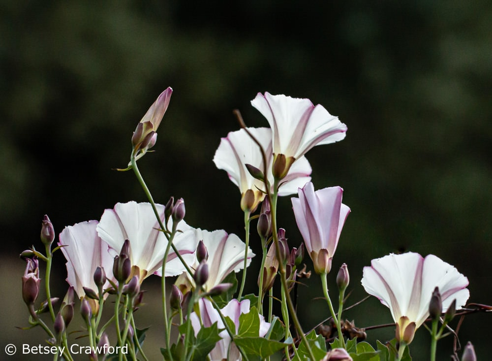 Morning glory (Calystegia macrostegia) King Mountain Trail, Larkspur, California by Betsey Crawford