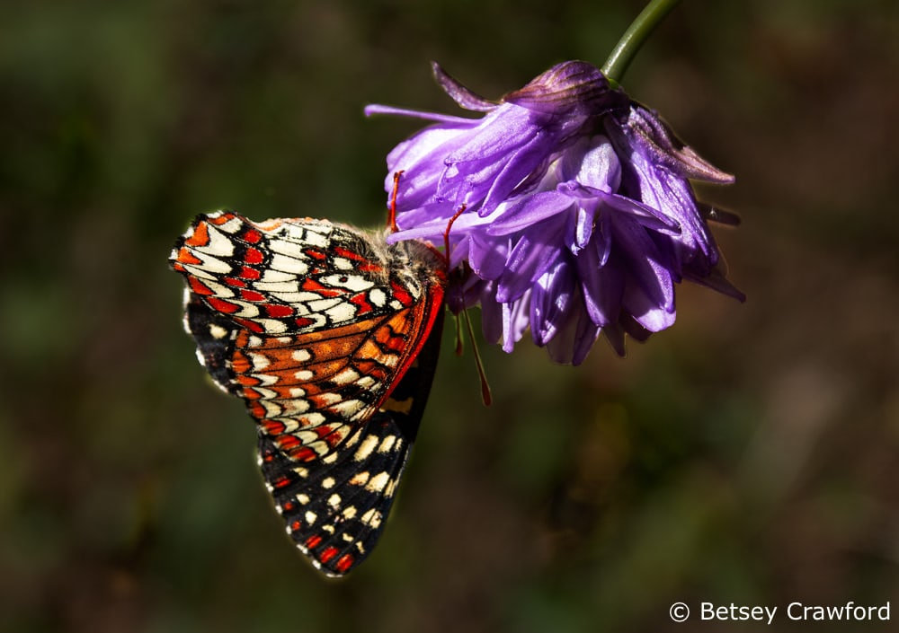 Chalcedon checkerspot butterfly (Euphydryas Chalcedon) with blue dick (Dichelostemma capitatum) along the King Mountain trail, Larkspur, California by Betsey Crawford