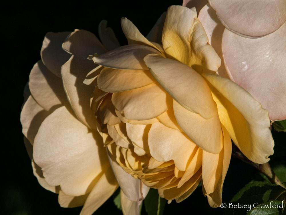 Yellow David Austin roses in Manito Park, Spokane, Washington by Betsey Crawford