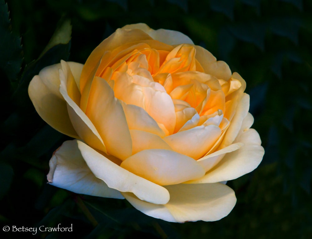Bowl of Roses: Peach David Austin rose in Manito Park, Spokane, Washington by Betsey Crawford