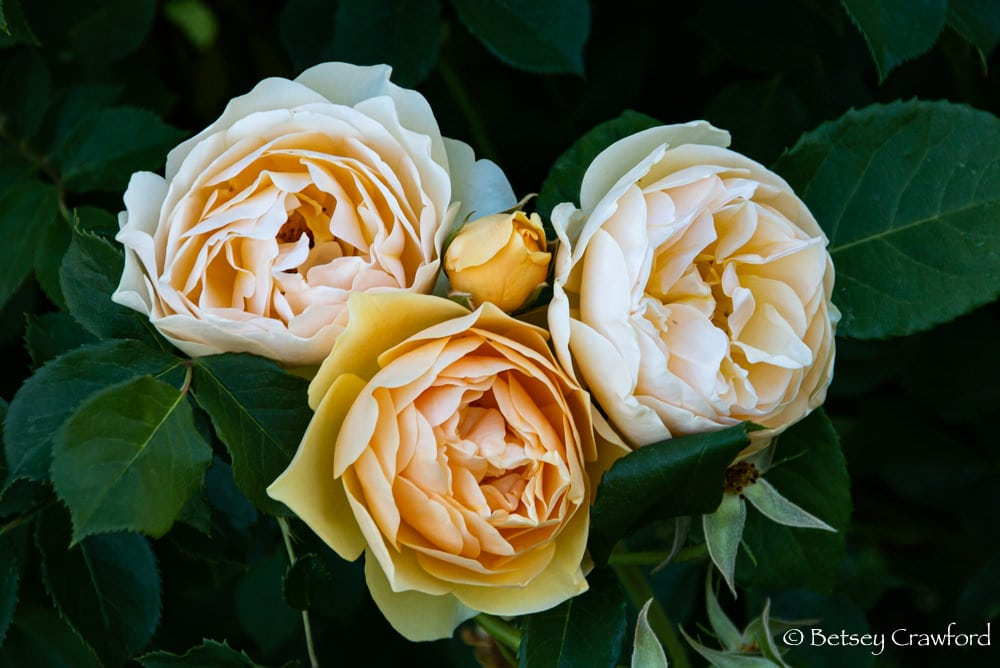 Bowl of Roses: Three gorgeous David Austin roses in Manito Park, Spokane, Washington by Betsey Crawford