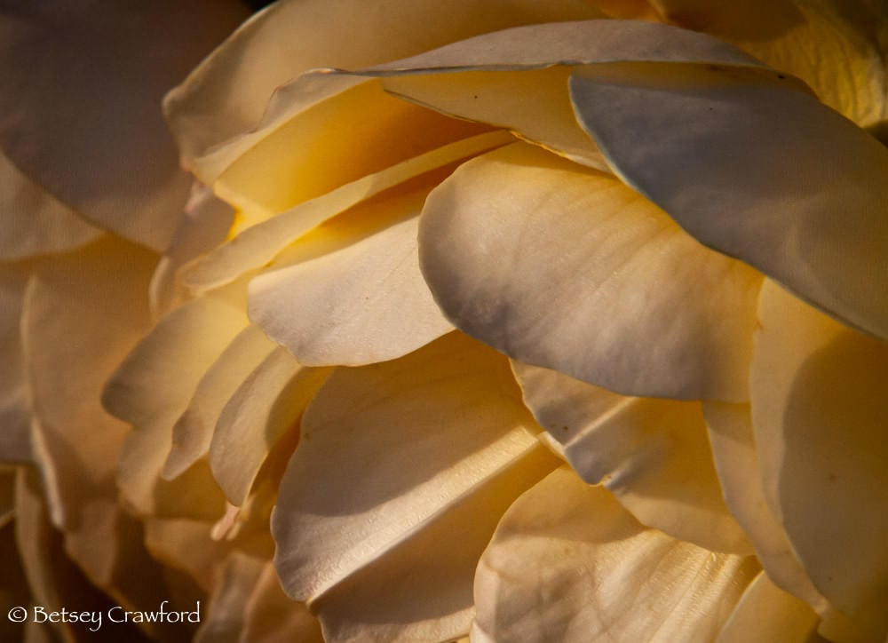 Bowl of Roses: Peachy petals of a David Austin rose in Manito Park, Spokane, Washington by Betsey Crawford