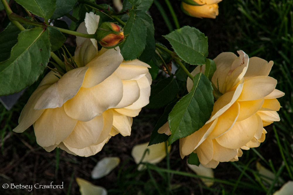 Two yellow David Austin rose in Manito Park, Spokane, Washington by Betsey Crawford
