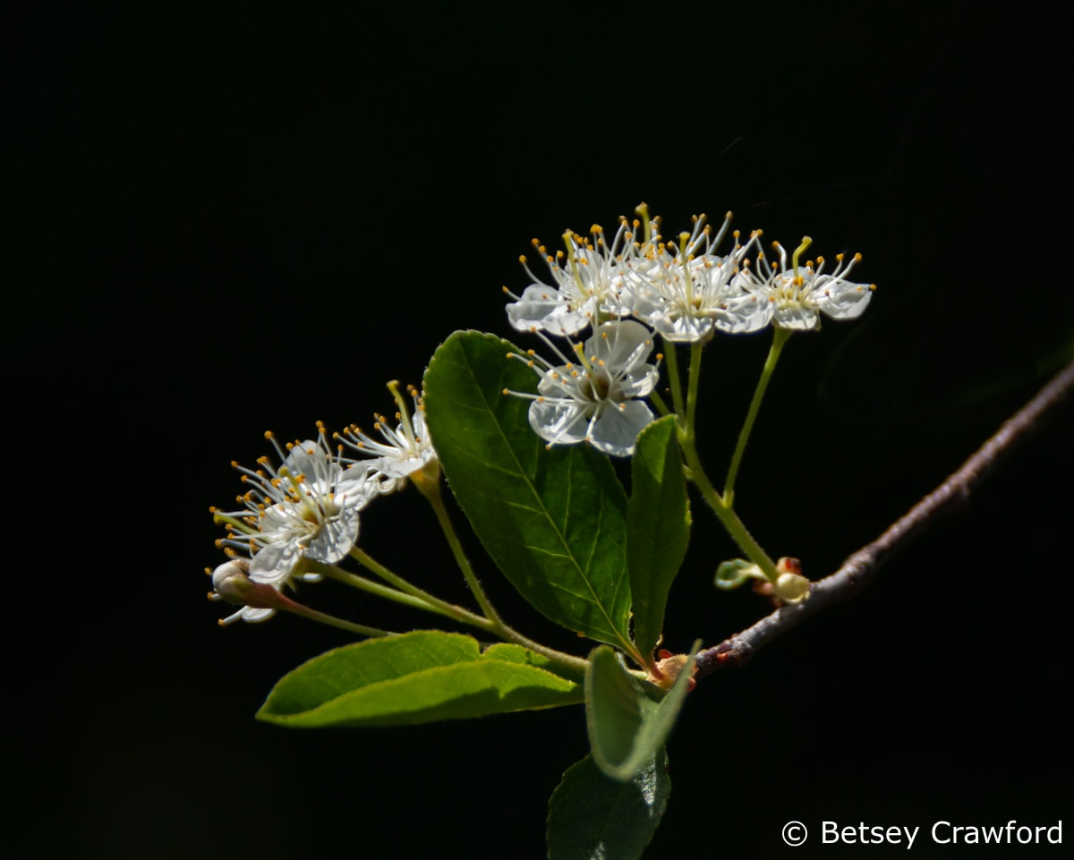 Bitter cherry (Prunus emarginata) in the Sierra Nevada, California by Betsey Crawford