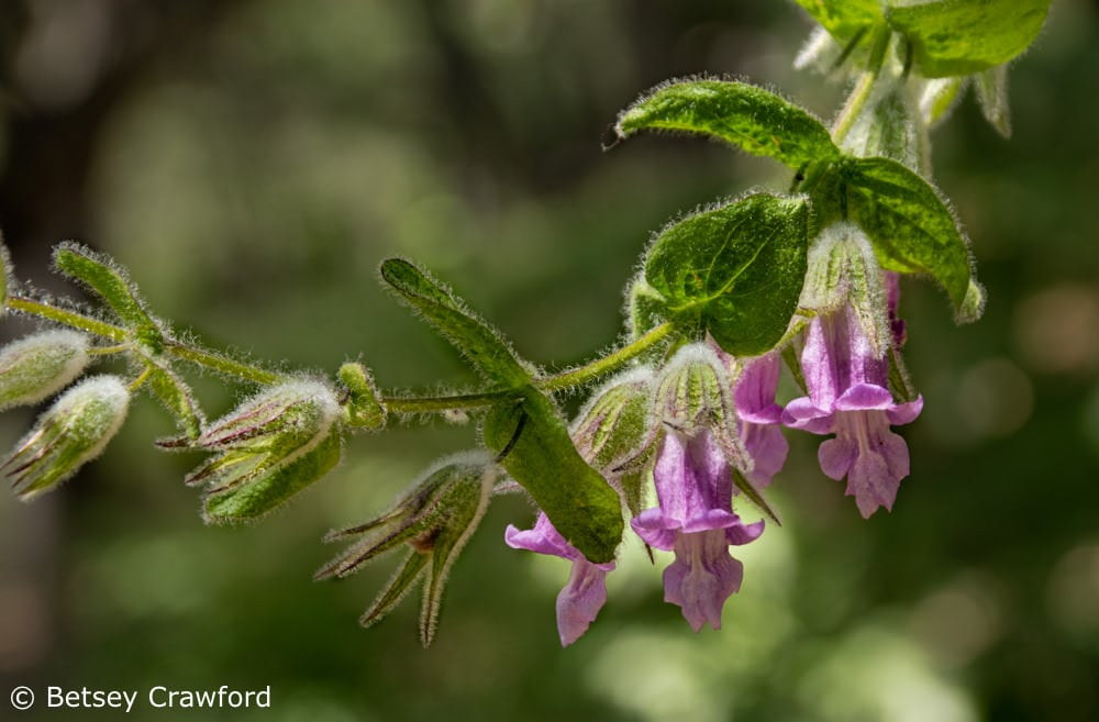 Loving earth: fragrant pitcher sage (Lepechinia fragrans) in a private garden in Marin County, California by Betsey Crawford