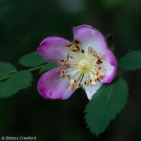 Pink beauty: wood rose (Rosa gymnocarpa) King Mountain Trail, Larkspur, California by Betsey Crawford