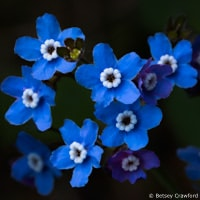 Western hounds tongue (Cynoglossum grande) Hoo-Koo-E-Koo Trail, Larkspur, California by Betsey Crawford
