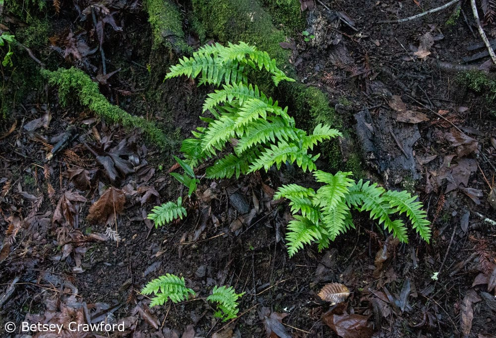 Ferns growing out of mossy roots in the rain in Baltimore Canyon, Larkspur, California by Betsey Crawford