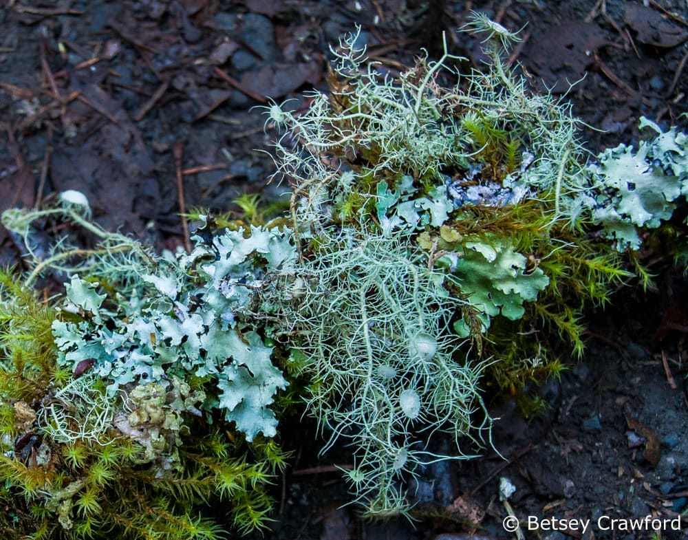 Lichen and moss happily full during the rainy season, on a branch on Mount Tamalpais in Marin County, California by Betsey Crawford