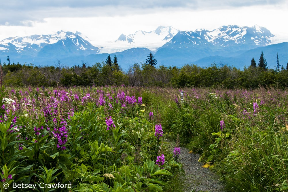 Fields of wildfowers at Eveline State Recreation Site with Grewingk Glacier in the background