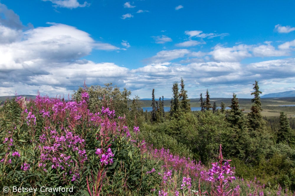 Fireweed, beautiful and ubiquitous, lights up Alaska all summer. Photo by Betsey Crawford