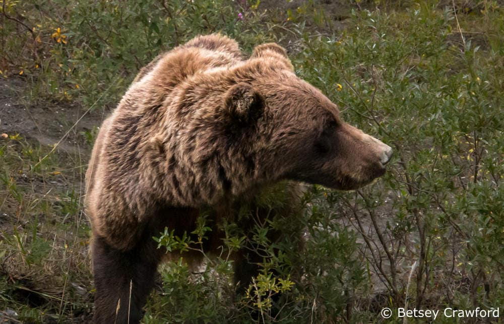 Grizzly bear in Denali National Park, Alaska by Betsey Crawford