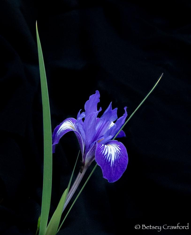 Purple iris douglasiana in Indian Valley, Novato, California by Betsey Crawford