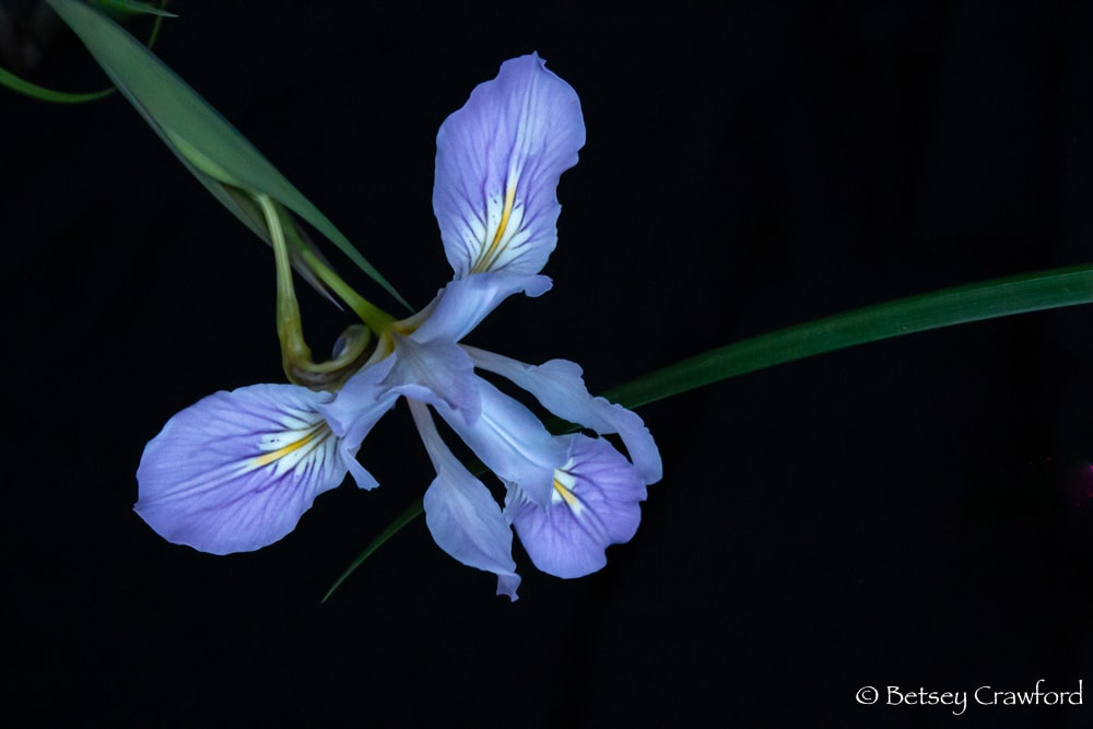 Purple iris douglasiana on the Hoo-Ko-E-Koo Trail, Larkspur, California by Betsey Crawford