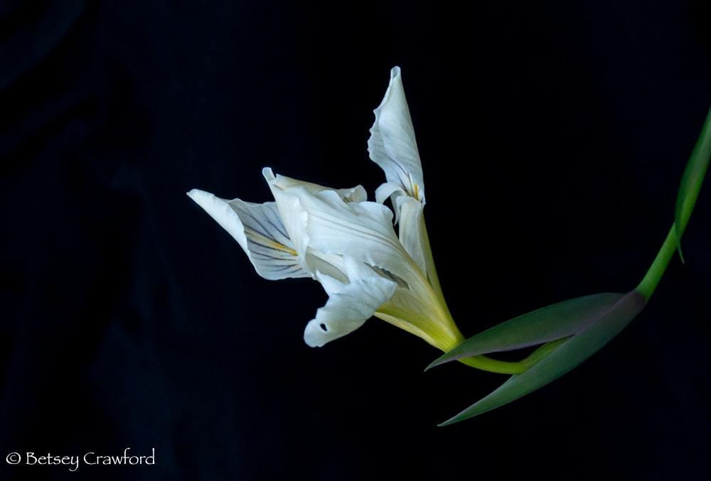White iris douglasiana just opening on the Hoo-Ko-E-Koo Trail, Larkspur, California by Betsey Crawford