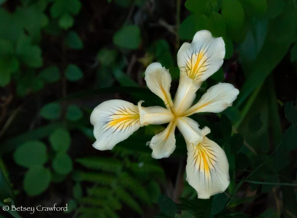 Pale yellow iris douglasiana on the Hoo-Ko-E-Koo Trail, Larkspur, California by Betsey Crawford