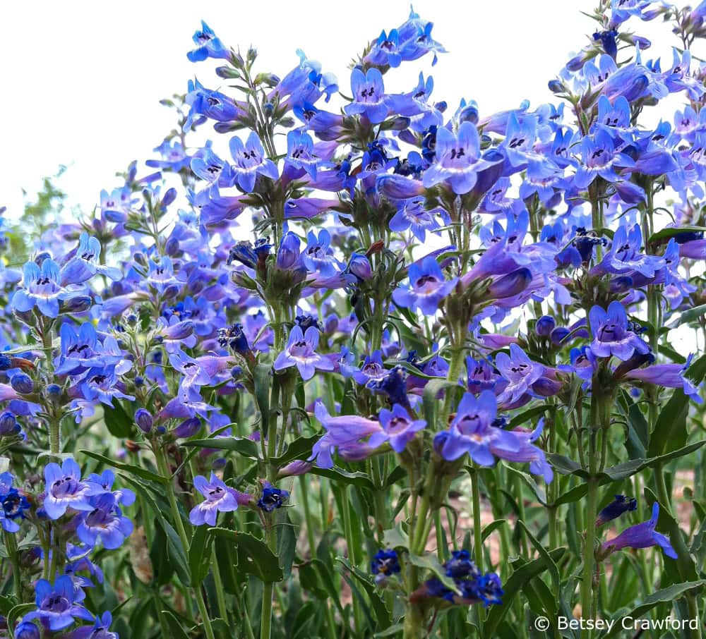 A good cure for plant blindness: Blue mist penstemon (Penstemon virens) in Evergreen, Colorado, by Betsey Crawford