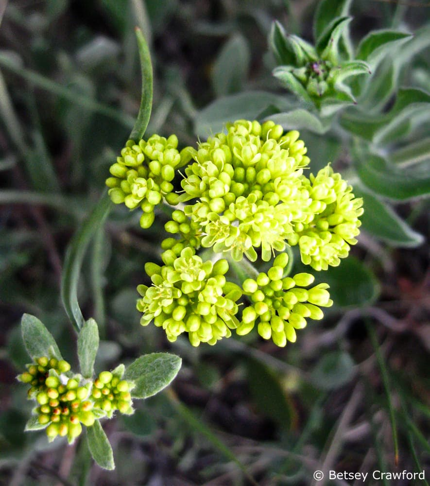 Sulphur buckwheat (Eriogonum umbellatum) in Evergreen, Colorado