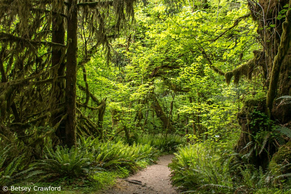 The Hoh Rainforest in Olympic National Park in northwest Washington shows the lush growth that 140 inches of rain a year provide by Betsey Crawford