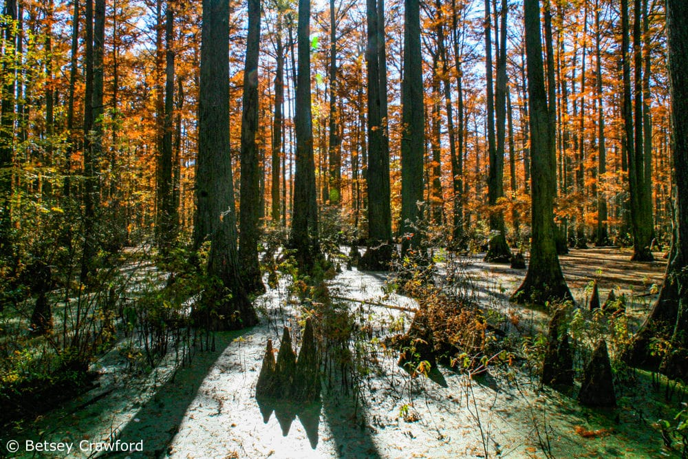 Bald cypress adapts to growing in water in this wetland ecosystem in the Shawnee National Forest in Illinois by Betsey Crawford