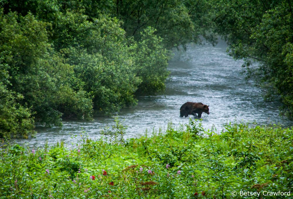 Riparian habitat in the Tongass National Forest, home to spawning salmon and the bears, wolves, and bald eagles who feed on them by Betsey Crawford