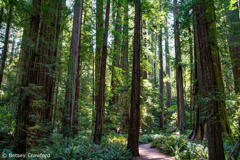 Ferns carpet a typical redwood forest ecosystem in Northern California by Betsey Crawford