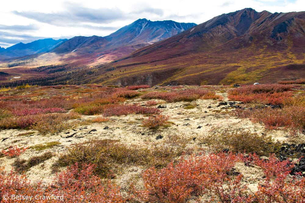 Tundra habitat develops the closer you get to the arctic. It's a response to short growing seasons and the permafrost not far underground. This is in Tombstone National Park in Yukon Territory by Betsey Crawford.