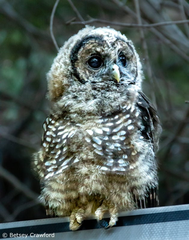 Young spotted owl, Larkspur, California by Betsey Crawford