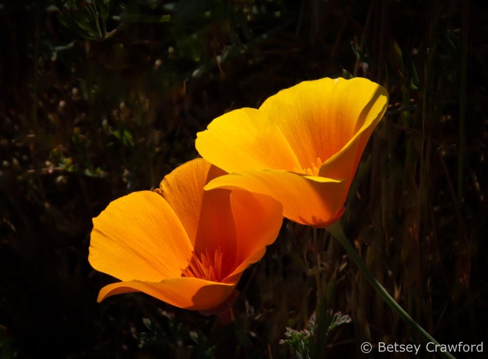 California poppy (Eschscholzia californica)Redwood Regional Park, Oakland, California by Betsey Crawford