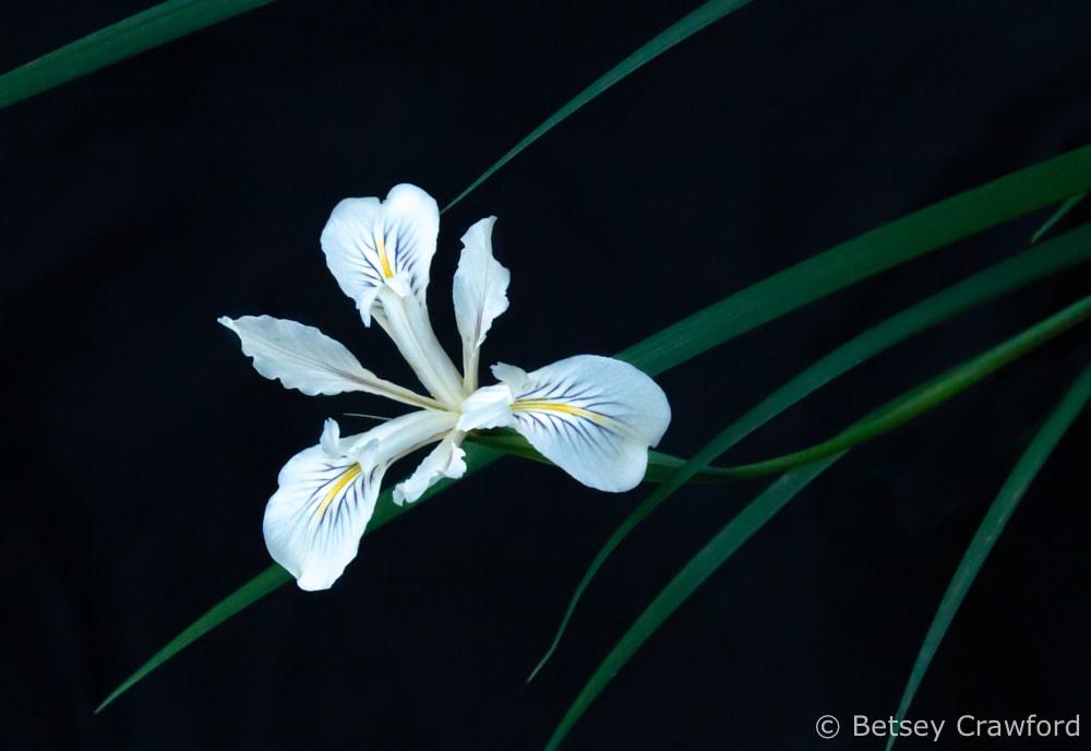 Douglas iris (iris douglasiuna) on the Hoo-Koo-E-Koo Trail, Larkspur, California by Betsey Crawford