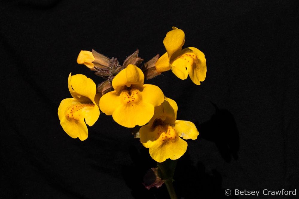 Seep monkey flower (Erythranthe guttatus) at Old Saint Hilary's Preserve in Tiburon, California by Betsey Crawford