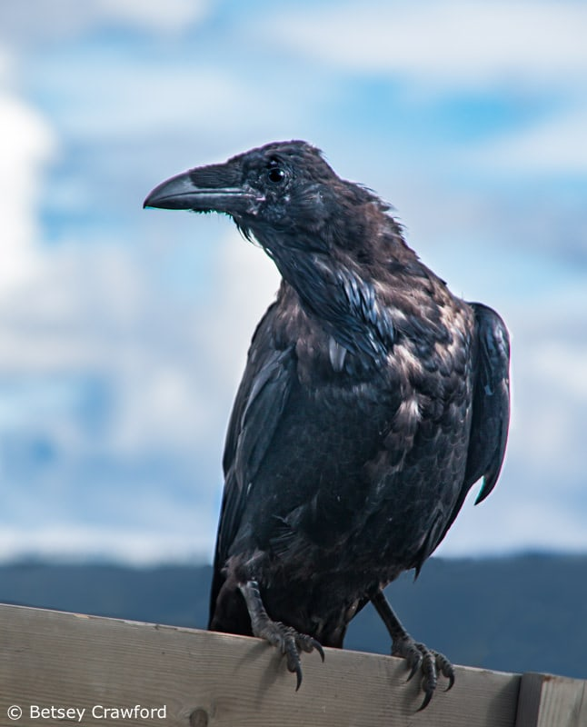 Raven in Alaska by Betsey Crawford