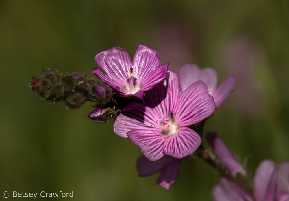 Checkerbloom, named after Linnaeus Sidalcea malviflora, in Novato, California by Betsey Crawford