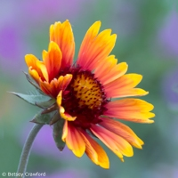 Red and yellow blanket flower (Gaillardia aristata) in Coeur d'Alene, Idaho by Betsey Crawford