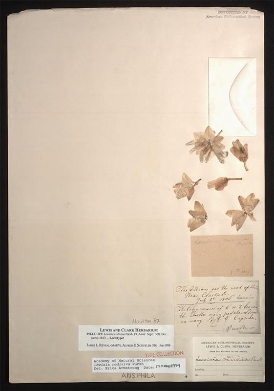 Bitterroot (Lewisia rediviva) specimen from Lewis and Clark expedition
