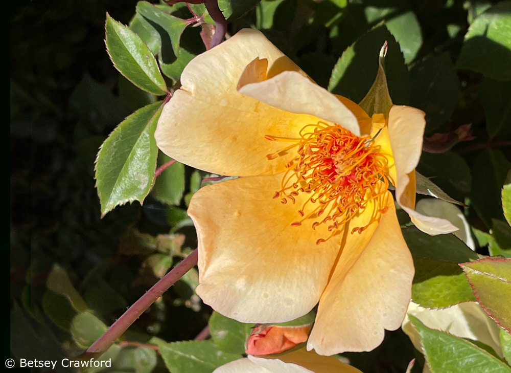 A rose blooming in Filoli Gardens, Redwood City, California by Betsey Crawford